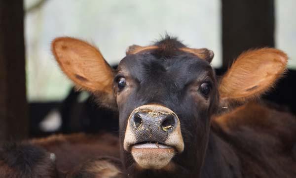 Vache - Ashram du Teraï